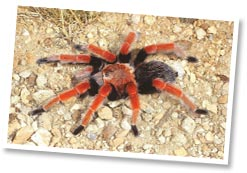Colourful tarantulas