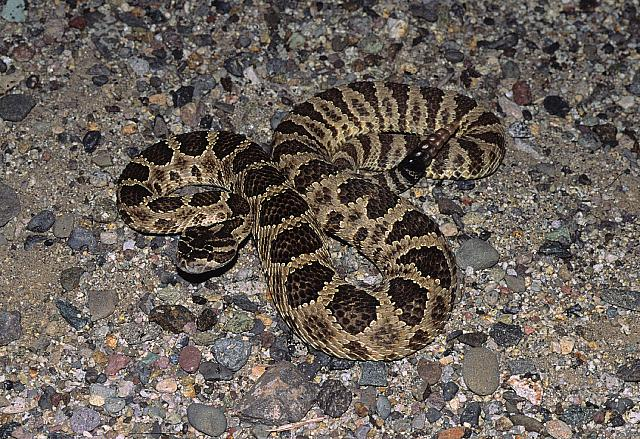 Great basin rattlesnake, Crotalus oreganus lutosus Klauber 1930, Spider Point, Pyramid Lake, Nevada, USA