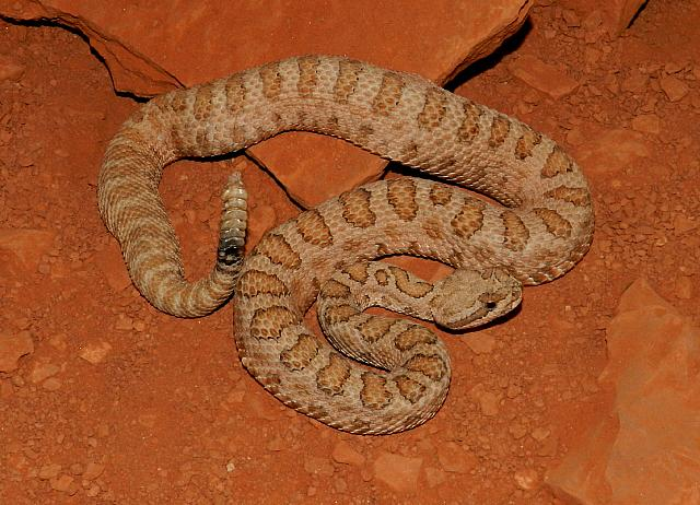 Midget Faded rattlesnake, Crotalus oreganus concolor, female, n. Arizona - s. Utah border, USA