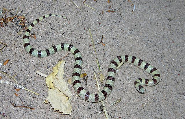 Mohave Shovel-nosed snake, Chionactis occipitalis occipitalis (Hallowell 1854), female, Lake Havasu, Arizona, USA