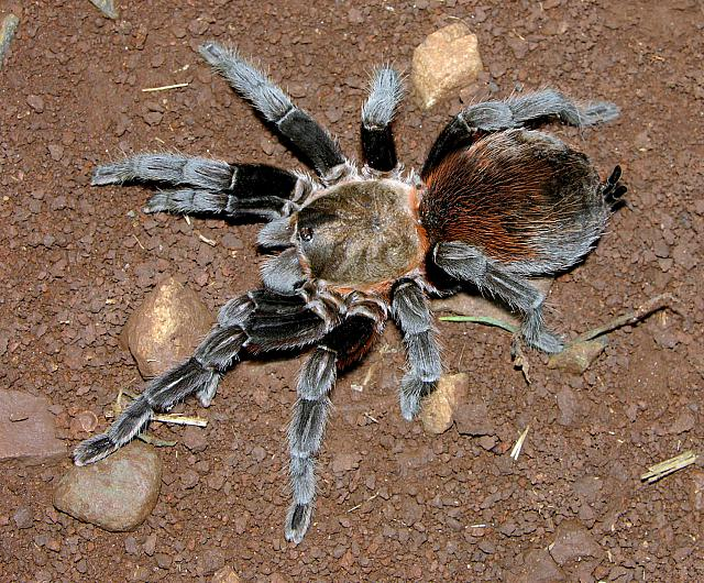 Brachypelma sp. [poss. a western range extension of B. kahlenbergi Rudloff 2008], female, sw. Michoacan, Mexico