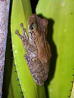 New River treefrog, Trachycephalus hadroceps (Duellman & Hoogmoed 1992), Montsinery, French Guiana