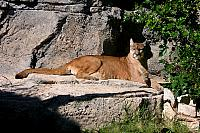 Cougar, Puma or Mountain Lion, Felis concolor Linnaeus 1771, female, New Mexico, USA