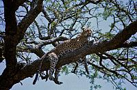 Panthera pardus (Linnaeus 1758) [Leopard], male keeping cool in an acacia tree, Samburu, Tanzania, East Africa