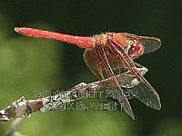 Dragonfly, Cardinal Meadowhawk, Sympetrum illotum, male, Victoria, BC, Canada