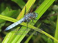 Dragonfly, Blue Dasher, Pachydiplax longipennis, male, Victoria, BC, Canada